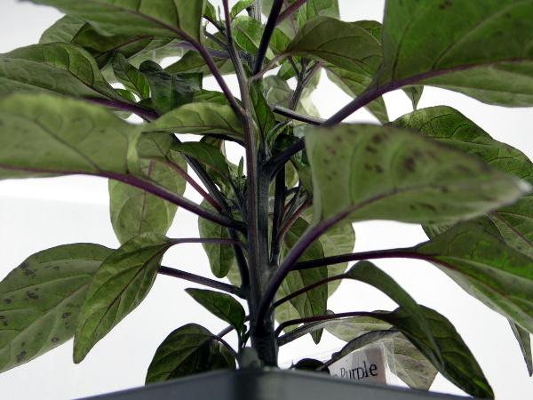 Peruwian Purple - von unten