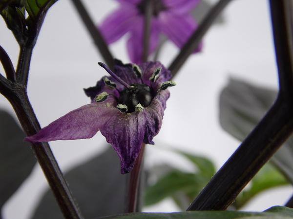 Peruwian Purple - Beere