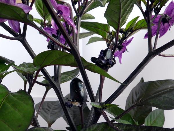 Peruwian Purple - Frucht und Bluete