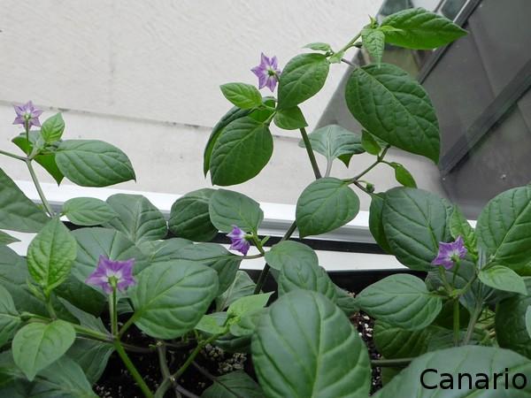 Canarioblüten